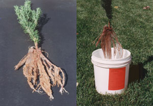 photo of roots dipped in Soil Moist Fines